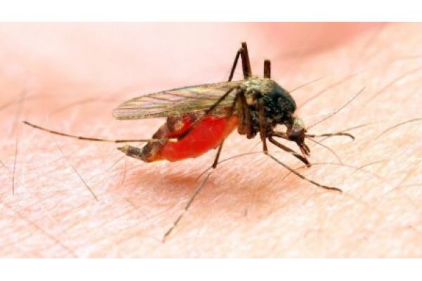 Malária: Mosquitos Transmissores Podem Agora Ser Identificados Mais Facilmente