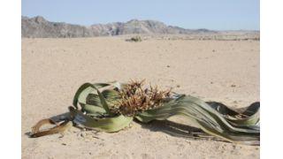 Investigadores Descobrem Mistério na Existência de Flores na Welwitschia Mirabilis